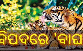 ବିପଦରେ 'ବାଘ' : ୭ ବର୍ଷରେ ମଲେଣି ୭୫୦ ବାଘ, tiger in danger, India, Nitidina, Odisha, News, Real Story, Health Tips, Life style, Daily Living, Tips, Job Updates, Yoga, Meditation, Stay Healthy, Save Tree, Save Life, Extended Lockdown