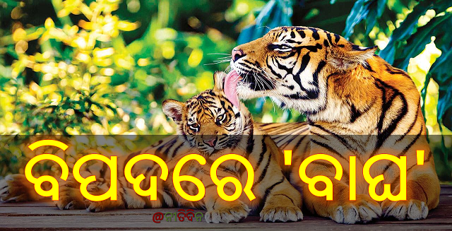 ବିପଦରେ 'ବାଘ' : ୭ ବର୍ଷରେ ମଲେଣି ୭୫୦ ବାଘ, tiger in danger, India, Nitidina, Odisha, News, Real Story, Health Tips, Life style, Daily Living, Tips, Job Updates, Yoga, Meditation, Stay Healthy, Save Tree, Save Life, Extended Lockdown