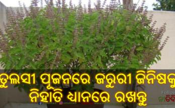 Kartik Maas 2020 Kartik month begins keep these things in mind in Tulsi Pujan, Tulsi, Nitidina, Odisha