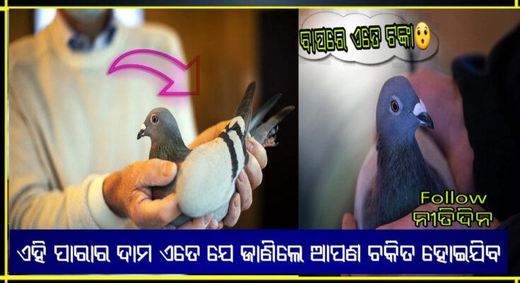 world most expensive pigeon record price 14 crore rupees in auction