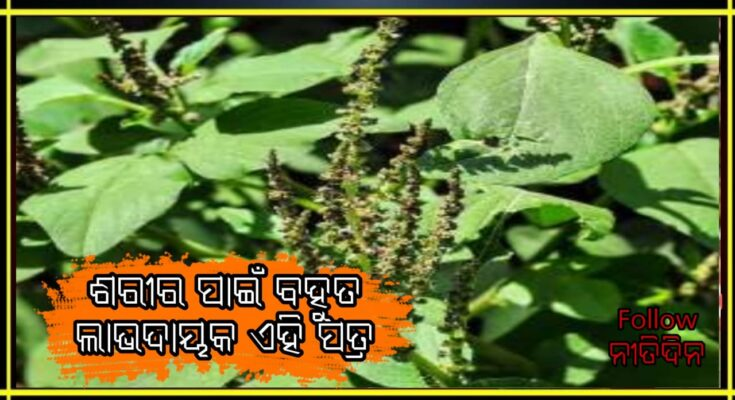 Bathua leaves are very beneficial for health know its benefits