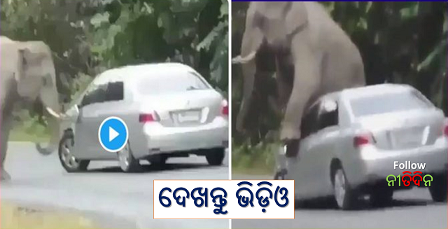 The elephant sat on the bonnet of the car then the driver did this intelligent job know details